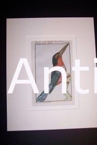 Buffon Kingfisher