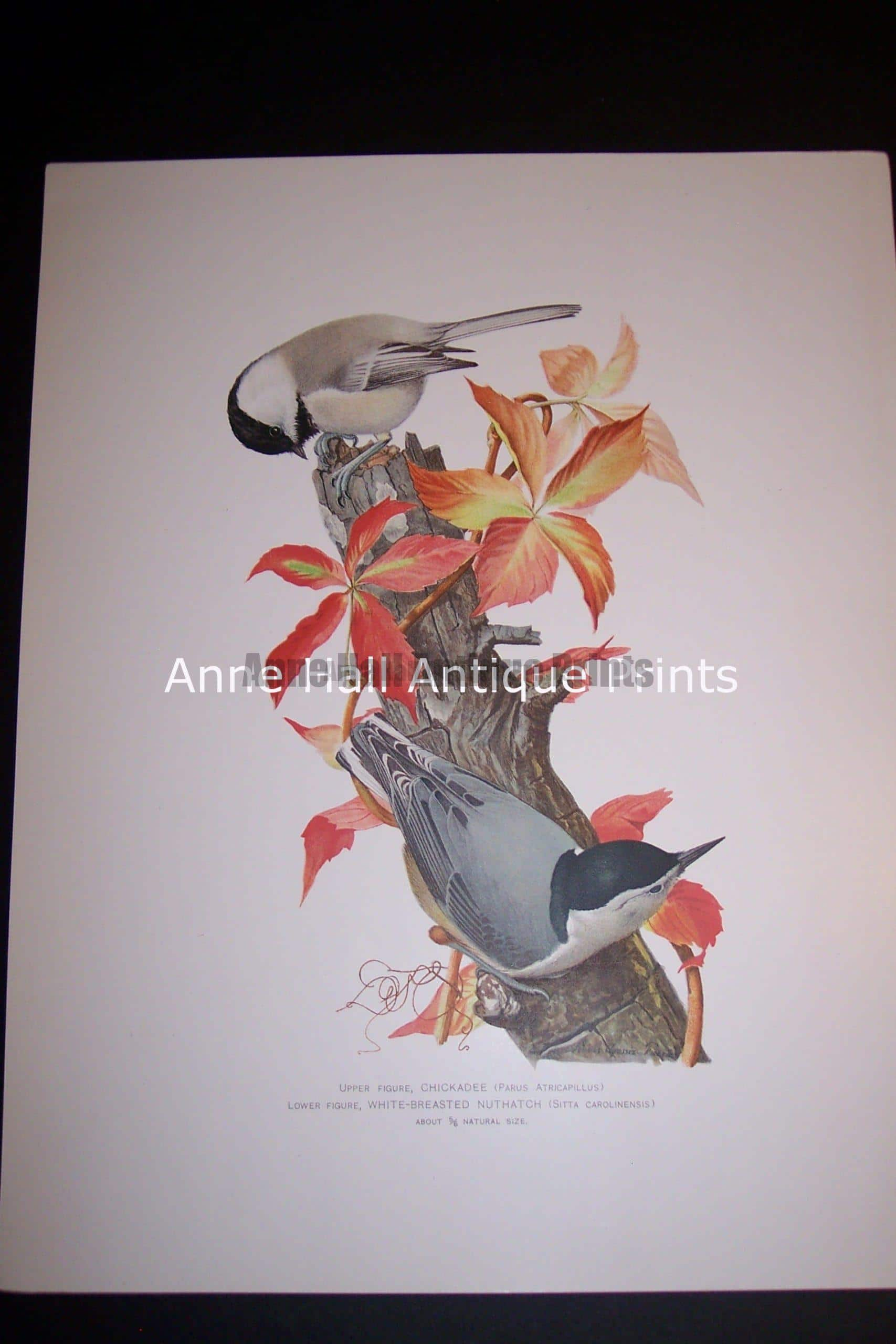 Birds: Louis Agassiz Fuertes Birds. These lovely old prints were published c.1900 in NY and each measures 9 1/4 x 12″
