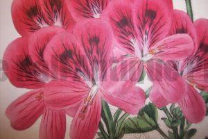 Find artwork of geraniums from centuries ago.