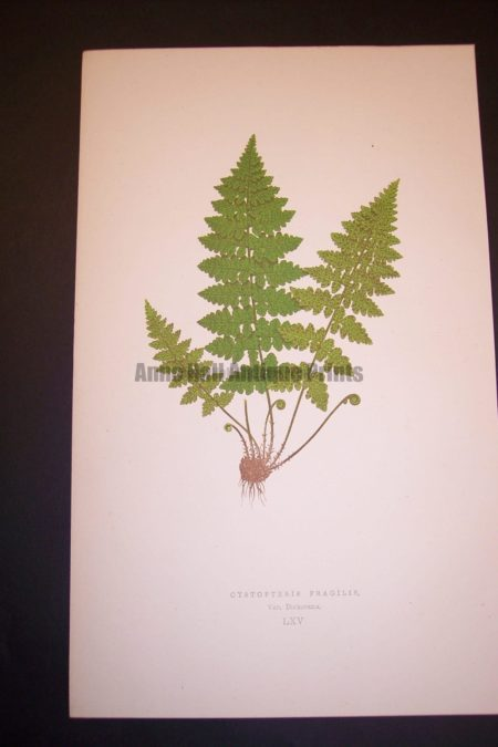Cystopteris LXV Old Fern Chromolithograph Pl.65