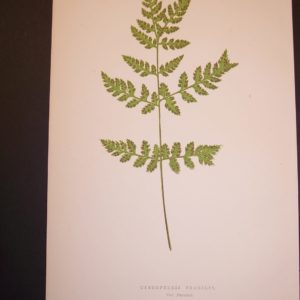 Cystopteris LXVI Old Fern Chromolithograph Pl.66