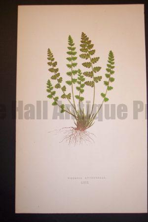 Woodsia LXIX Old Fern Chromolithograph Pl.69