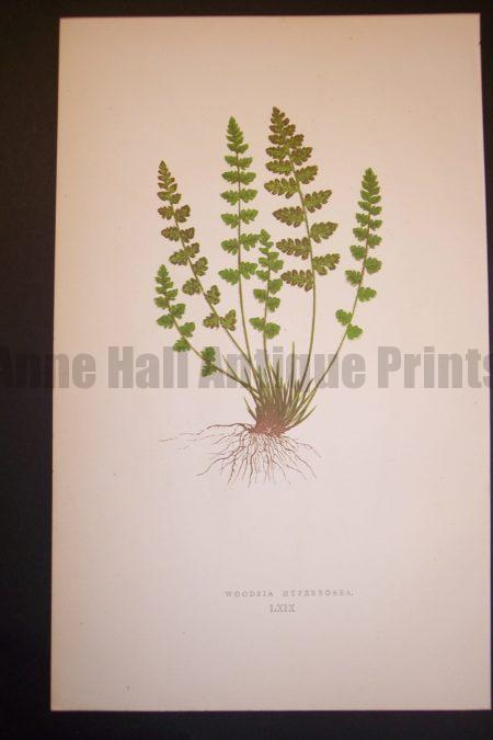 Woodsia LXIX Old Fern Chromolithograph Pl.69