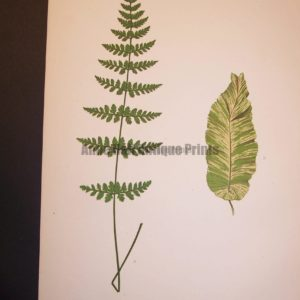 Cystopteris LXIV Old Fern Chromolithograph Pl.44