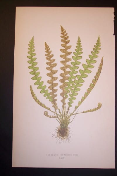 Ceterach LVII Old Fern Chromolithograph Pl.57