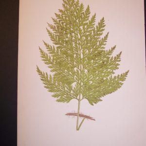 Trichomanes LXXI Old Fern Chromolithograph Pl.71