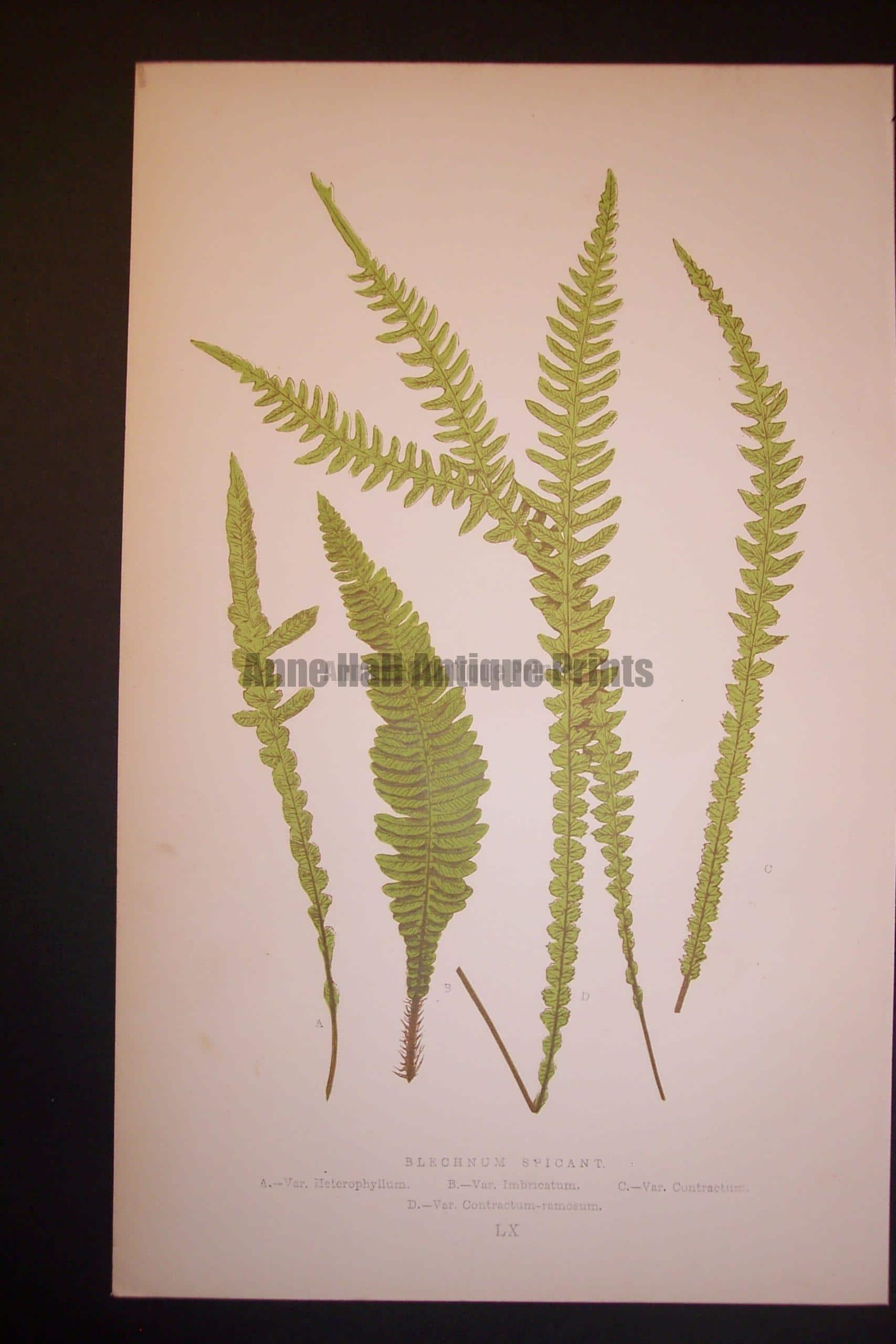 Blechnum LX Old Fern Chromolithograph Pl.60