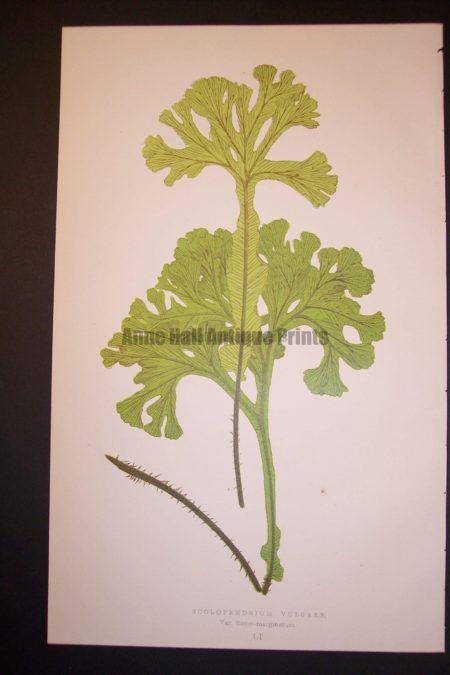 Scolopendrium LI Old Fern Chromolithograph Pl.51