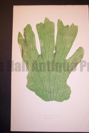 Platycerium LXIV Old Fern Chromolithograph Pl.64