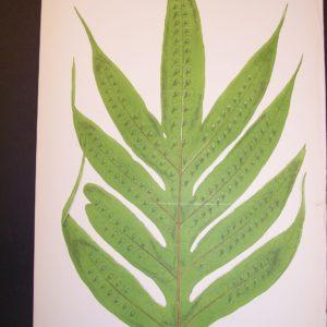 Polypodium LIX Old Fern Chromolithograph Pl.59A