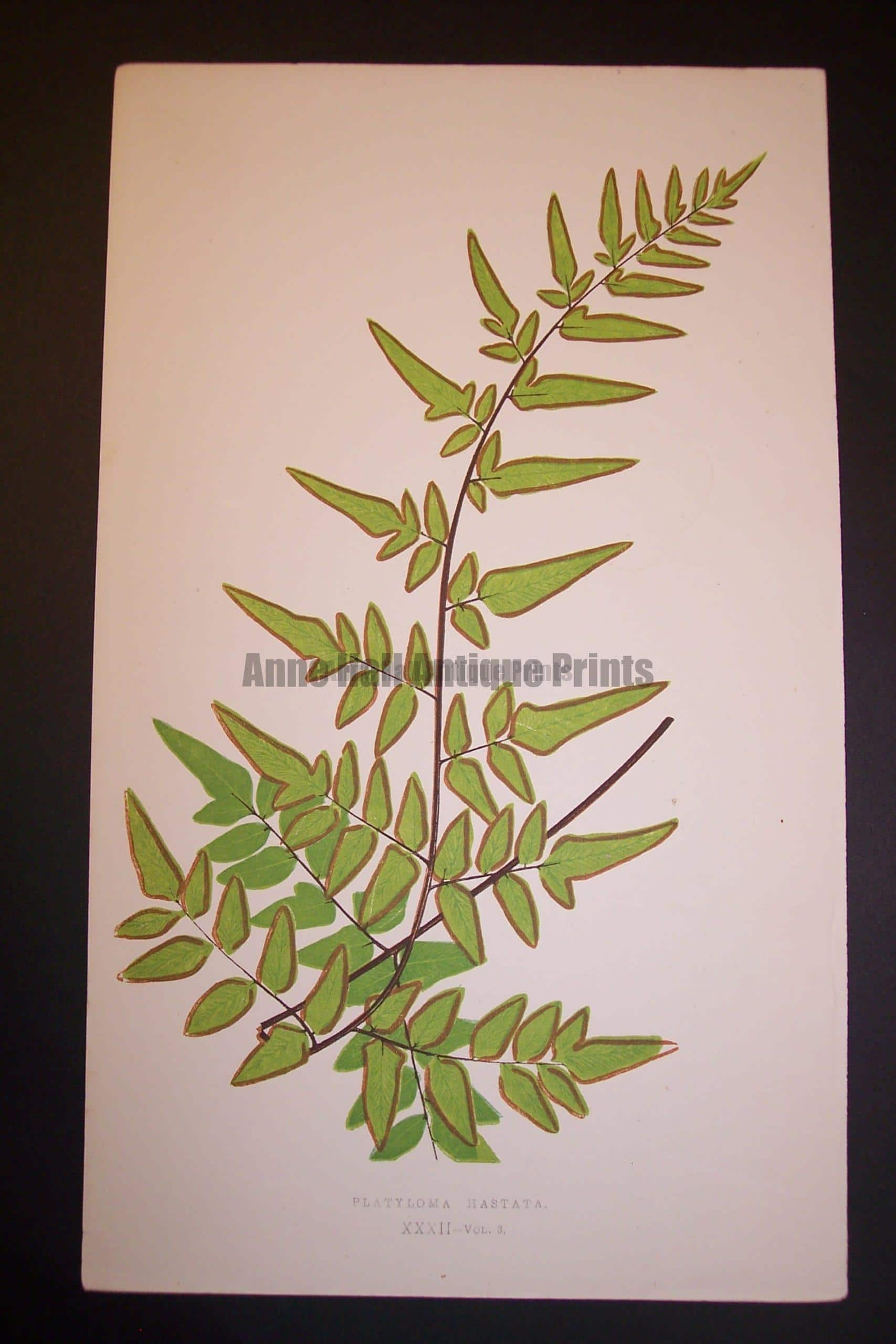 Platyloma XXXII Old Fern Chromolithograph Pl.32