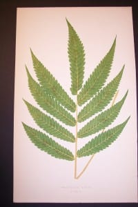 Polypodium L Old Fern Chromolithograph Pl.50v2