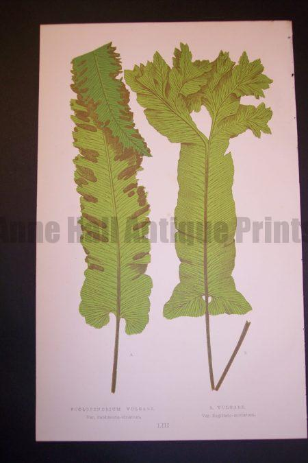 Scolopendrium LIII Old Fern Chromolithograph Pl.53