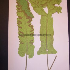 Scolopendrium LIII Old Fern Chromolithograph Pl.53