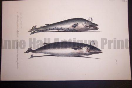 "Balene Whale hand colored lithograph from 1835. Pl. 7 unmated 6x9"" $95."