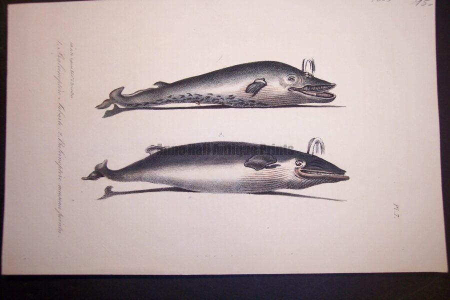 Over 100 years old, antique bookplate or lithograph, of balena baleen whale.