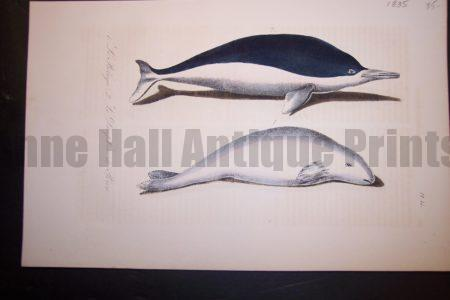 Beluga Whale hand colored lithograph from 1835. Some off setting. Pl.15 $85.