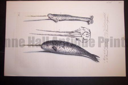 Narwhal Whale hand colored lithograph from 1835. Some off setting. Pl.9 $85.