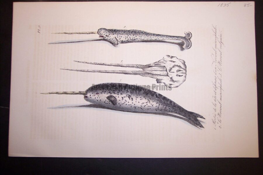 Narwhal Whale, unicorn and two horned, hand colored lithograph from 1835. Very little offsetting. Pl.9 $85.