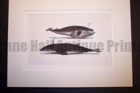 """Orca Whale hand colored lithograph Pl.4. Rag Mat 9x12"""" $125."""