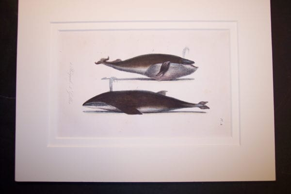 "Orca Whale hand colored lithograph Pl.4. Rag Mat 9x12"" $125."
