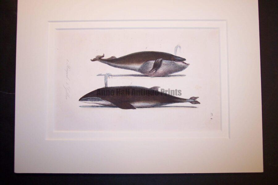 Original print or bookplate of whale: circa 1835 lithograph hand colored.