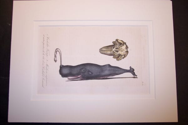 "Humpback Whale hand colored lithograph Pl.13. Rag Mat 9x12"" [SOLD]"