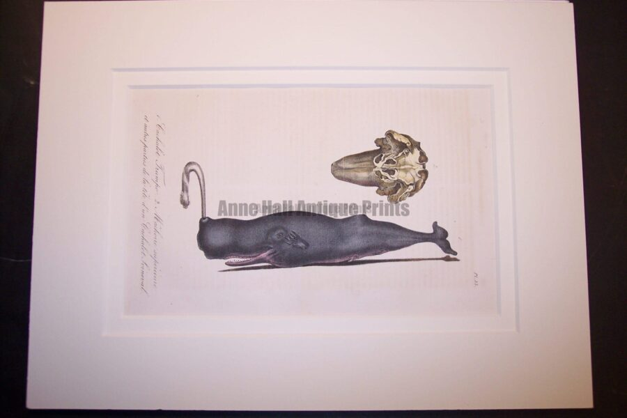Humpback Whale spouting (sold)