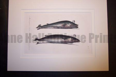 "Balene Whales, hand colored lithograph. Rag Mat 9x12"" $125."