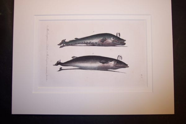 old lithograph baleen whale