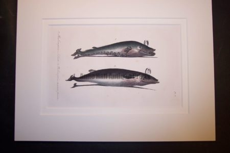old lithograph of baleen whales, both are spouting.