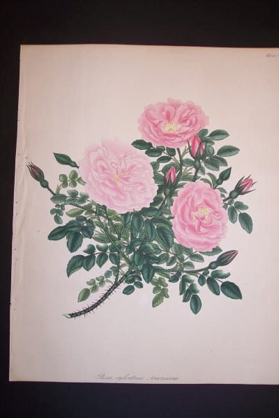 Andrews Exquisite Rose Engraving 72