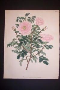 Andrews Exquisite Rose Engraving 73 Rosa Spinosifsima Rubra