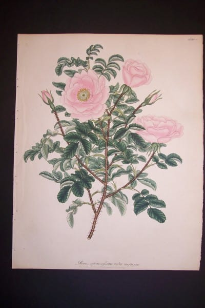 Andrews Exquisite Rose Engraving 73 Rosa Spinosifsima Rubra