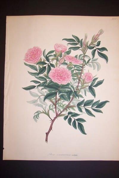 Andrews Exquisite Rose Engraving 74. Rosa Cinnamomea.