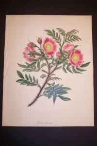 Andrews Exquisite Rose Engraving 75. Rosa Blanda