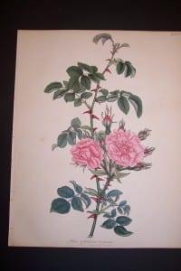 Andrews Exquisite Rose Engraving 76. Rosa Eglanteria.