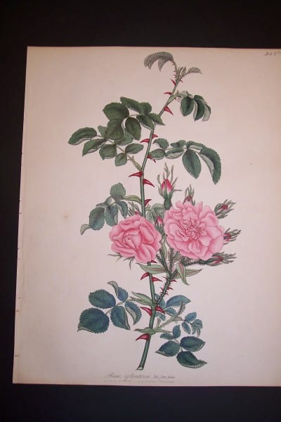 Andrews Exquisite Rose Engraving 76. Rosa Eglanteria.