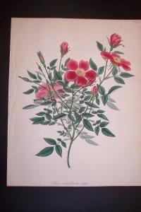 Andrews Exquisite Rose Engraving 78. Rosa Semperflorens.