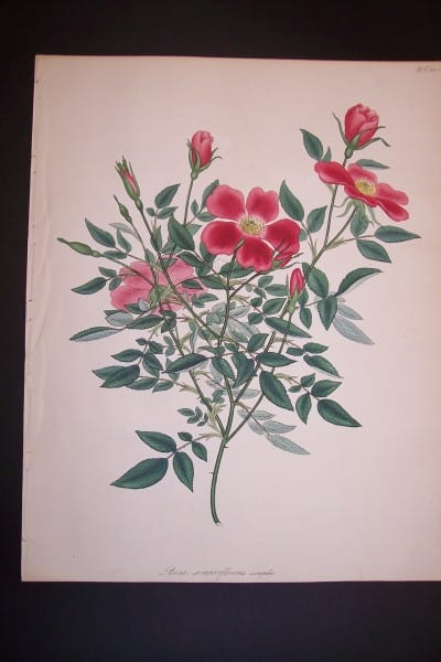 Andrews Exquisite Rose Engraving 78. Rosa Semperflorens.