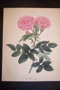 Andrews Exquisite Rose Engraving 79. Rosa Belgica Blanda.