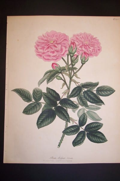 Andrews Exquisite Rose Engraving 79. Rosa Belgica Blanda.