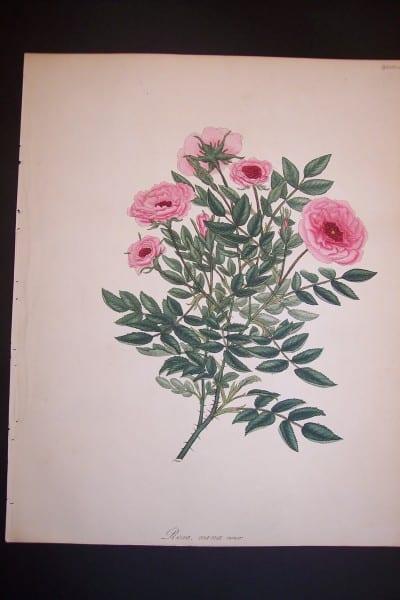 Andrews Exquisite Rose Engraving 80. Rosa Nana Minor.