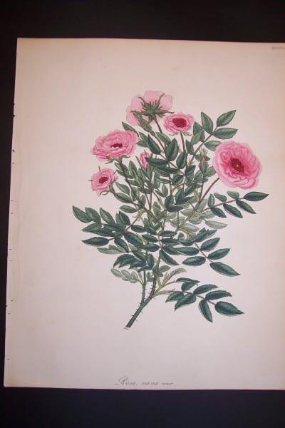 Andrews Exquisite Rose Engraving 80. Rosa Nana Minor.