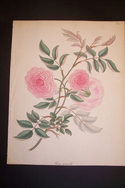 Andrews Exquisite Rose Engraving 81. Rosa Gracilis.