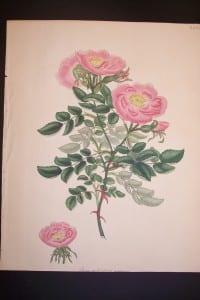 Andrews Exquisite Rose Engraving 82. Rosa Eglanteria Marmorea.
