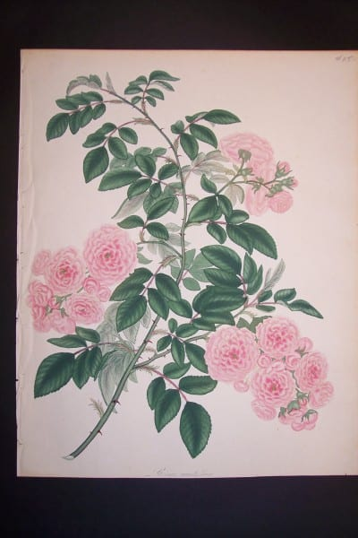 Andrews Exquisite Rose Engraving 83. Rosa Multiflora.