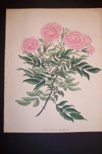 Andrews Exquisite Rose Engraving 84. Rosa Carolina.