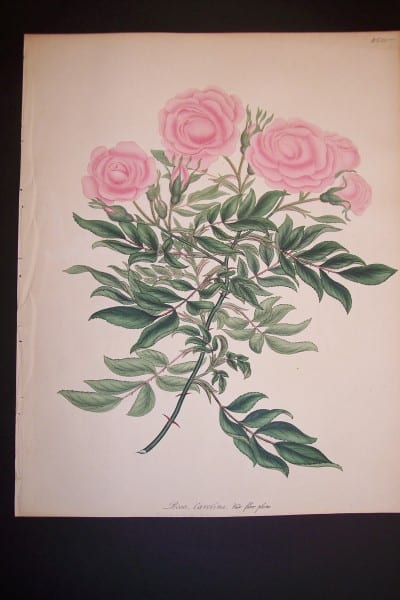 Andrews Exquisite Rose Engraving 84. Rosa Carolina.