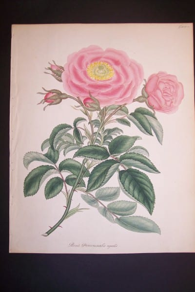 Andrews Exquisite Rose Engraving 85. Rosa Provincialis Regalis.